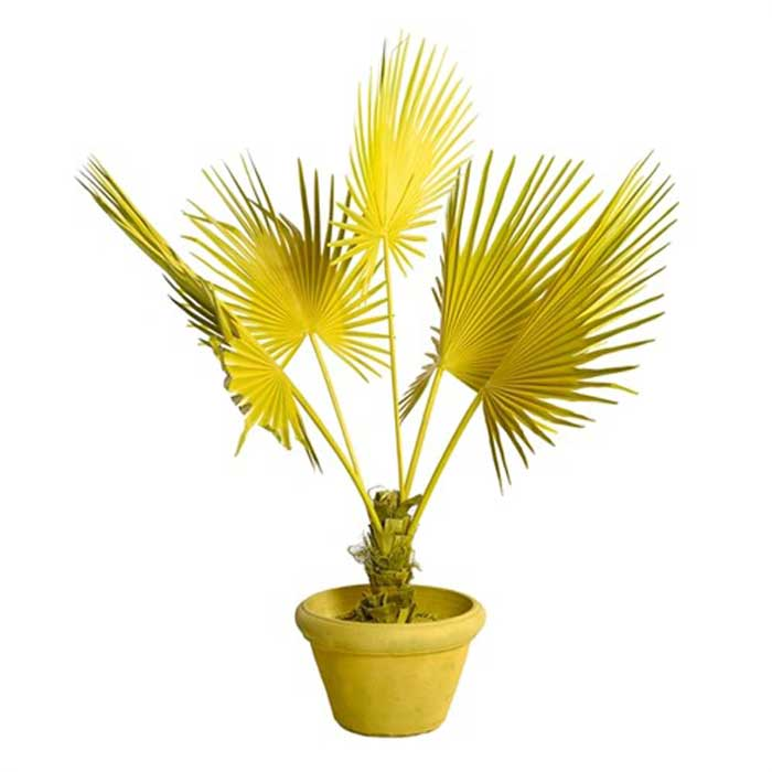 Pols Potten Fan palm in pot
